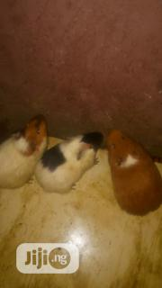 Guinea Pigs Clearance Sale | Livestock & Poultry for sale in Lagos State, Mushin
