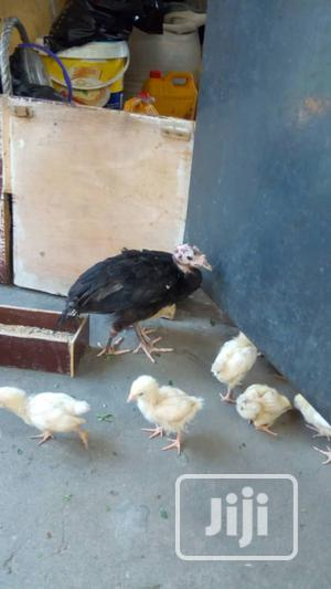 4 Weeks Cockerel | Livestock & Poultry for sale in Lagos State, Agege