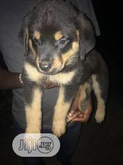 Baby Male Purebred Rottweiler | Dogs & Puppies for sale in Rivers State, Port-Harcourt