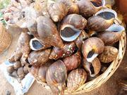 Jumbo Snails   Other Animals for sale in Ogun State, Ado-Odo/Ota