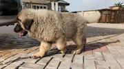 Baby Male Purebred Caucasian Shepherd   Dogs & Puppies for sale in Abuja (FCT) State, Central Business Dis