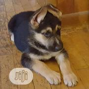 Baby Male Purebred German Shepherd   Dogs & Puppies for sale in Abuja (FCT) State, Central Business Dis