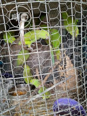 Senegalese Parrots | Birds for sale in Delta State, Ugheli