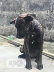 Young Female Mixed Breed Cane Corso | Dogs & Puppies for sale in Rivers State, Port-Harcourt