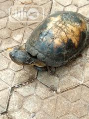 Tortoise For Sell | Reptiles for sale in Anambra State, Awka