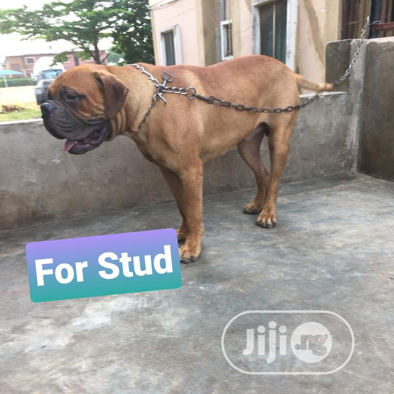 Adult Male Purebred Bullmastiff | Dogs & Puppies for sale in Ifako-Ijaiye, Lagos State, Nigeria