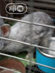 Chinchilla And New Zealand Breed Of Rabbit For Sale | Livestock & Poultry for sale in Lagos State, Ipaja