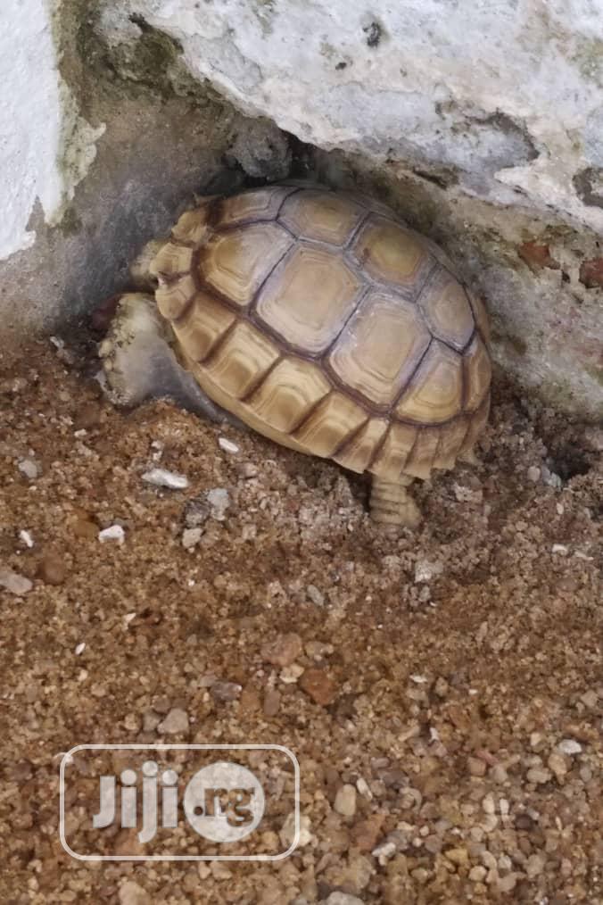Tortoise For Your Home Pet Or Aquarium