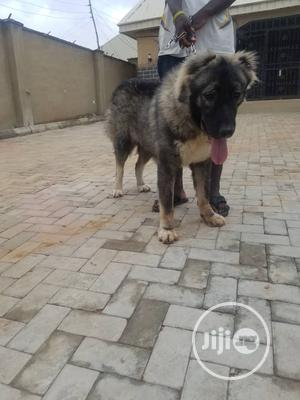 Pedigree Caucasian Male For Crossing/Stud Services | Pet Services for sale in Abuja (FCT) State, Gwarinpa