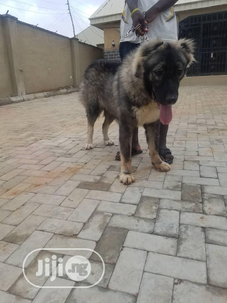 Pedigree Caucasian Male For Crossing/Stud Services