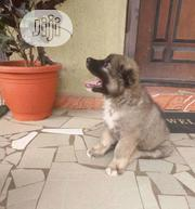 Young Female Purebred Caucasian Shepherd | Dogs & Puppies for sale in Oyo State, Surulere-Oyo