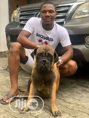 Adult Male Purebred Boerboel | Dogs & Puppies for sale in Oyo State, Surulere-Oyo