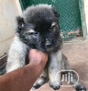 Baby Male Purebred Caucasian Shepherd | Dogs & Puppies for sale in Oyo State, Surulere-Oyo