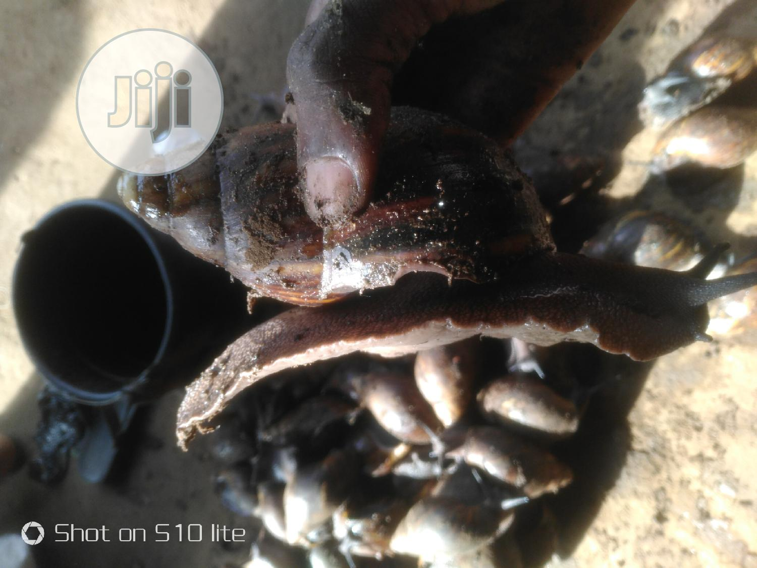 Big Snails Achantina | Other Animals for sale in Ojo, Lagos State, Nigeria