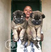 Senior Female Purebred Caucasian Shepherd | Dogs & Puppies for sale in Oyo State, Surulere-Oyo