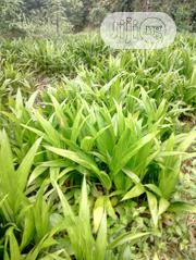 Oil Palm Seedlings | Meals & Drinks for sale in Oyo State, Ibadan