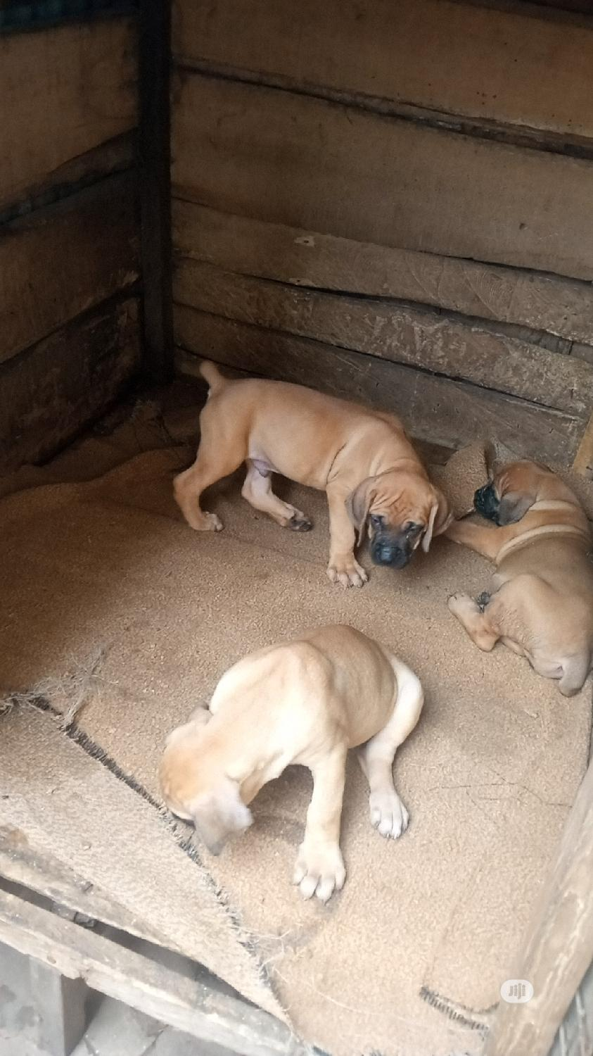 Baby Female Purebred Boerboel | Dogs & Puppies for sale in Agege, Lagos State, Nigeria