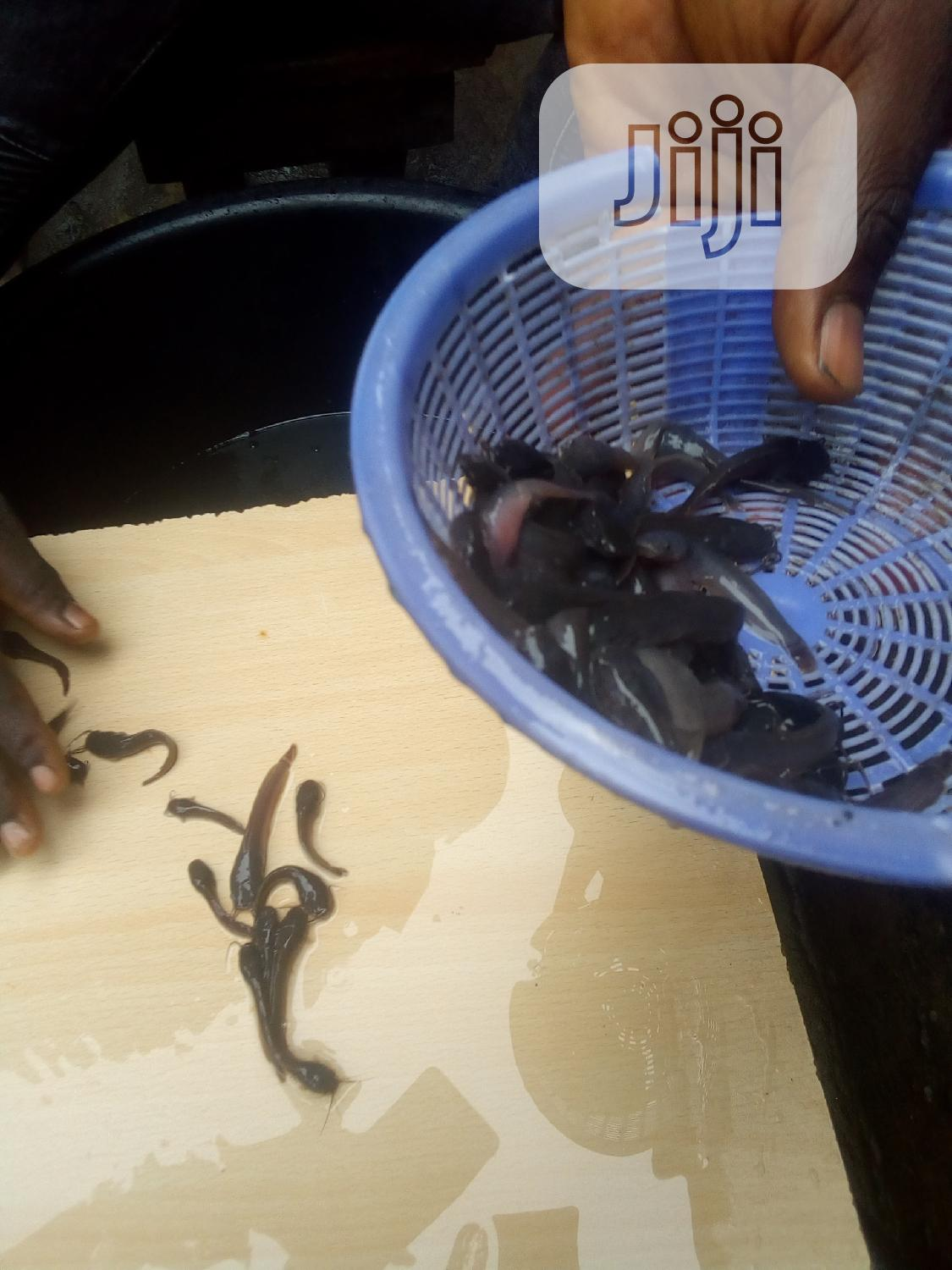 Catfish Fingerlings, Ijebu, Juvenile And More | Livestock & Poultry for sale in Yaba, Lagos State, Nigeria