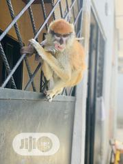 Patas Monkey For Sale | Other Animals for sale in Oyo State, Ibadan