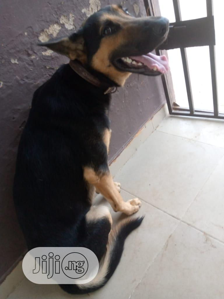 Adult Male Purebred German Shepherd | Dogs & Puppies for sale in Ibadan, Oyo State, Nigeria