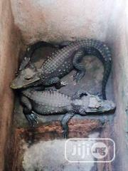 Young Crocodiles Ready For Sales | Reptiles for sale in Kogi State, Lokoja