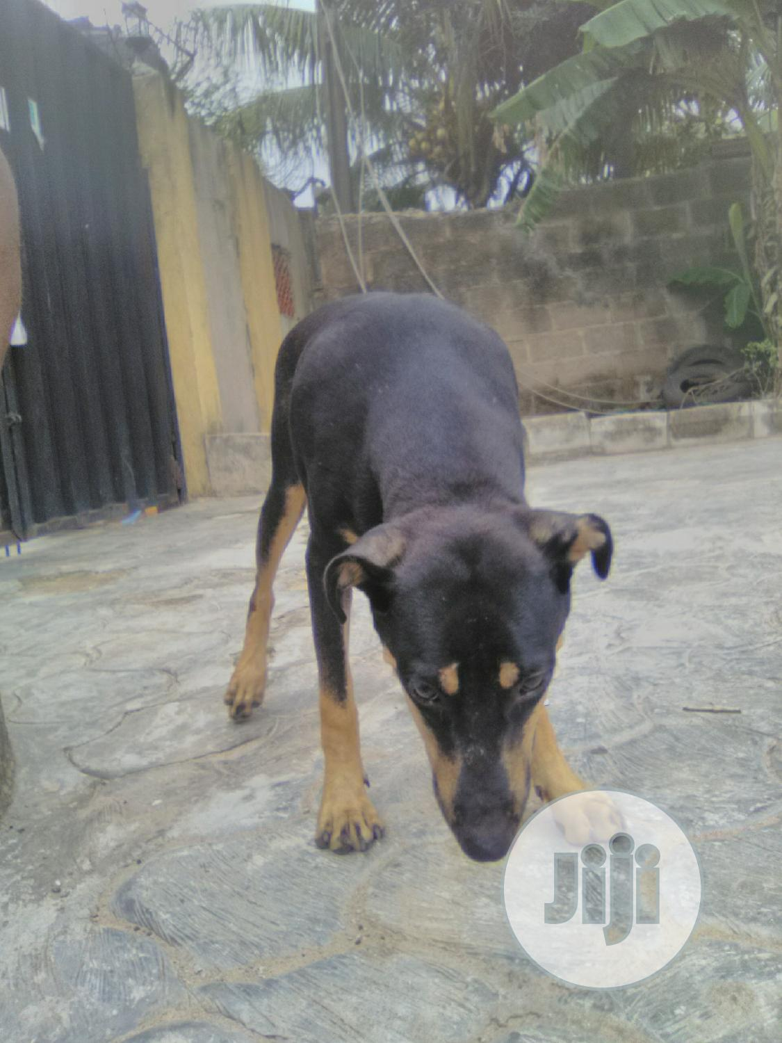 Young Male Mixed Breed Rottweiler | Dogs & Puppies for sale in Egbeda, Oyo State, Nigeria