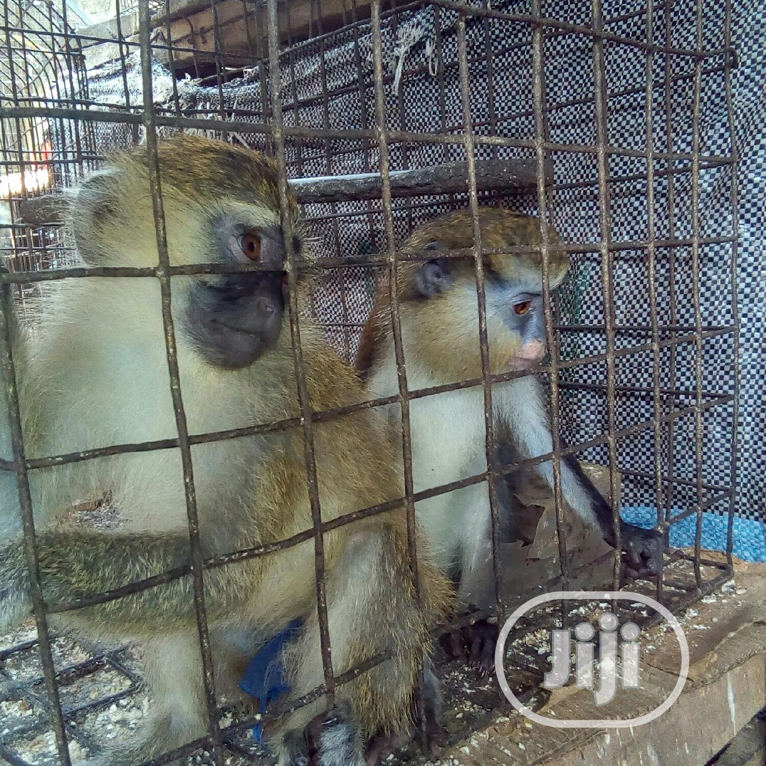 Well Treated Monkey   Other Animals for sale in Ojo, Lagos State, Nigeria