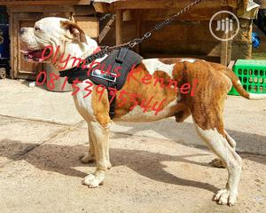 1+ Year Male Purebred Bulldog | Dogs & Puppies for sale in Edo State, Benin City
