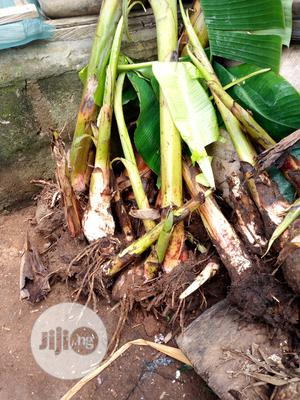 Plantain Suckers   Feeds, Supplements & Seeds for sale in Ogun State, Ado-Odo/Ota