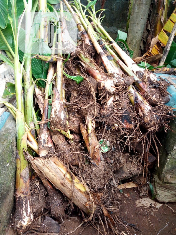 Plantain Suckers   Feeds, Supplements & Seeds for sale in Ado-Odo/Ota, Ogun State, Nigeria