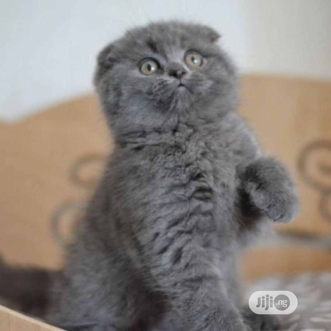 Young Female Purebred Scottish Fold | Cats & Kittens for sale in Lekki, Lagos State, Nigeria