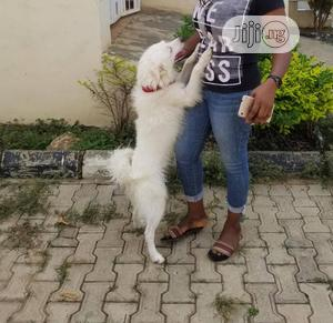 3-6 Month Male Purebred Samoyed   Dogs & Puppies for sale in Abuja (FCT) State, Utako