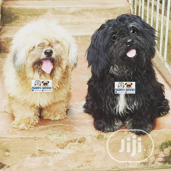 Archive: Male Lhasa Apso's For Stud/Mating Service
