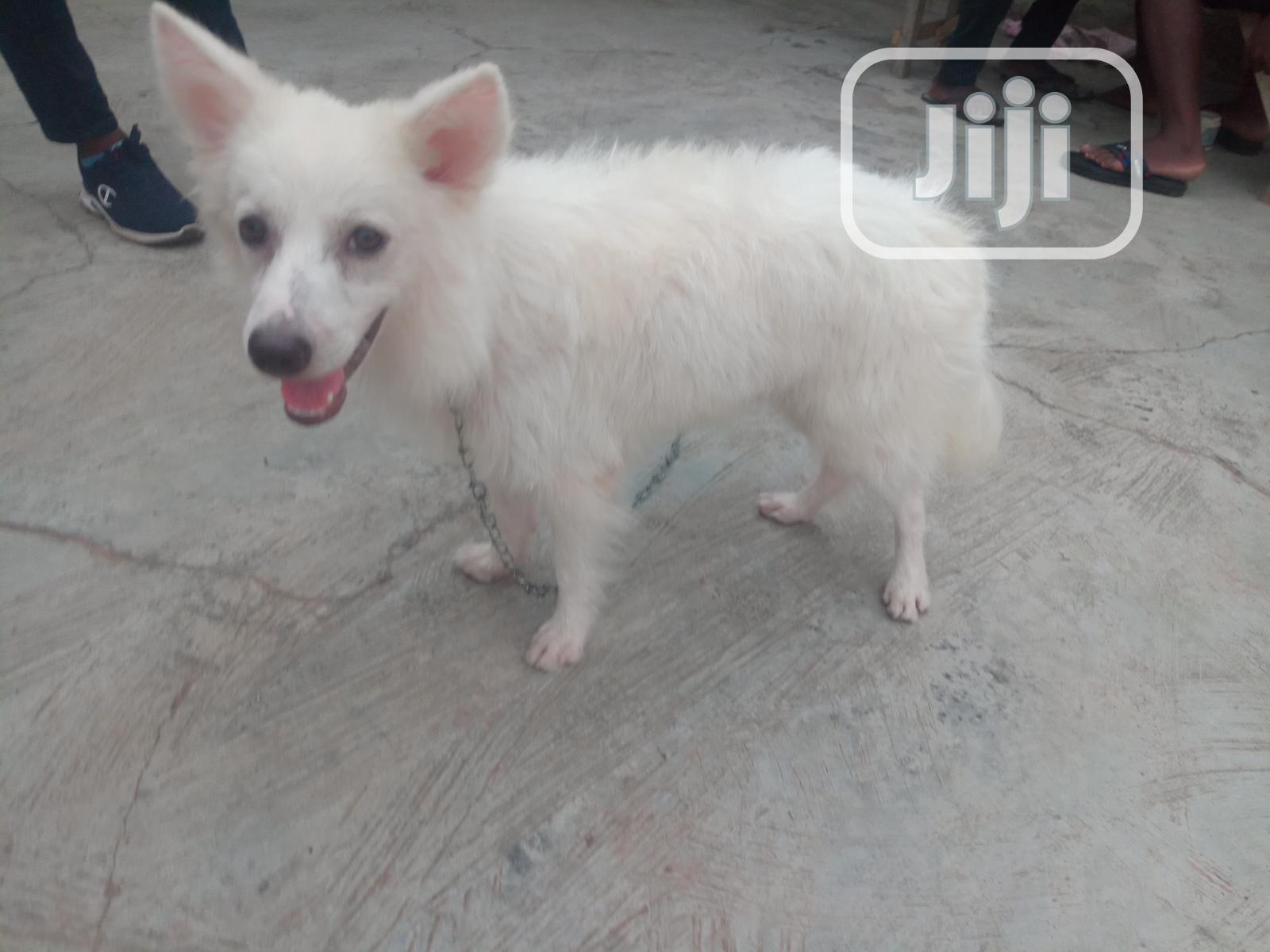 1+ year Male Purebred American Eskimo   Dogs & Puppies for sale in Ibadan, Oyo State, Nigeria