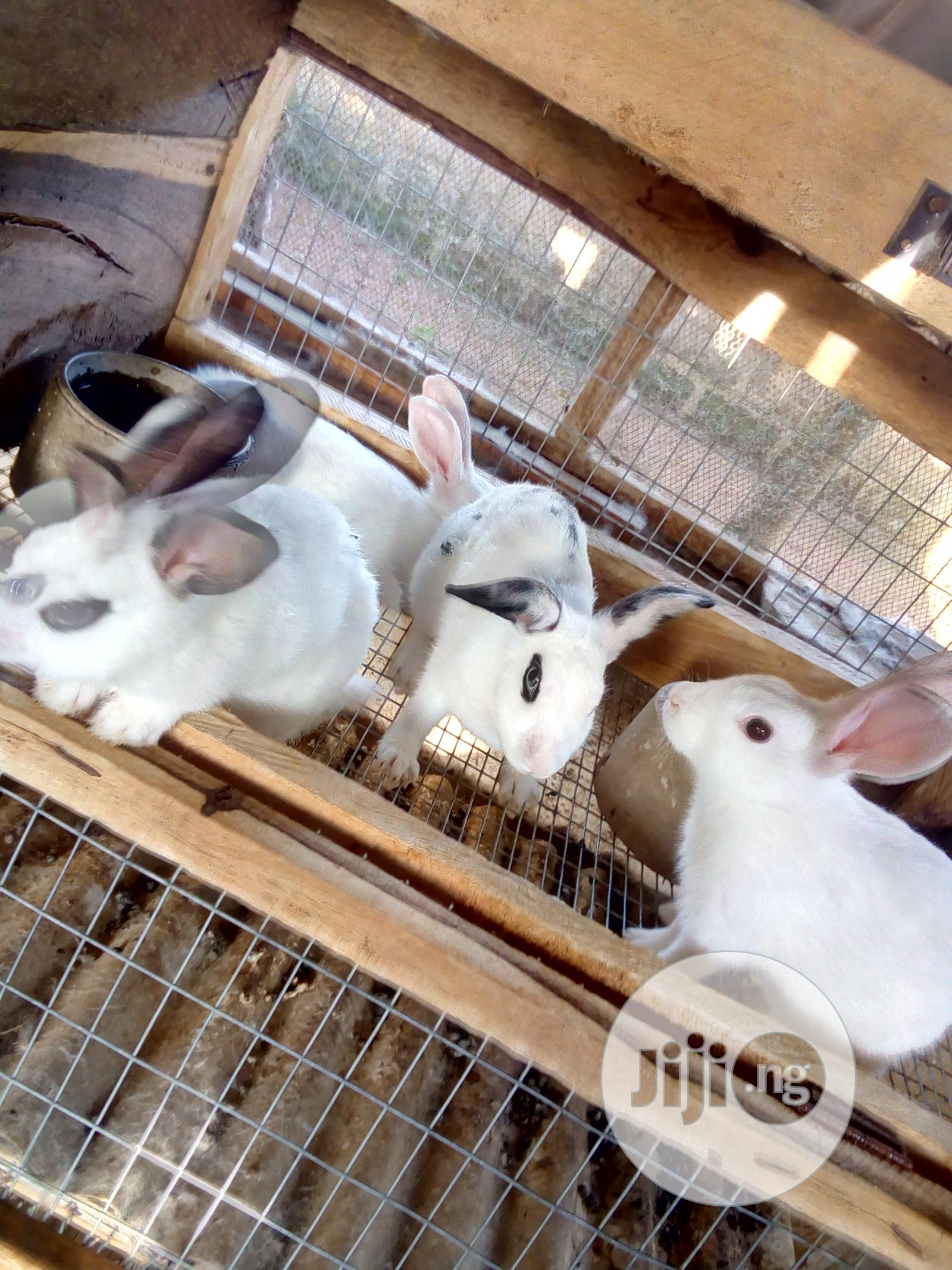 Healthy Rabbit Breeds Up For Sale | Livestock & Poultry for sale in Osogbo, Osun State, Nigeria