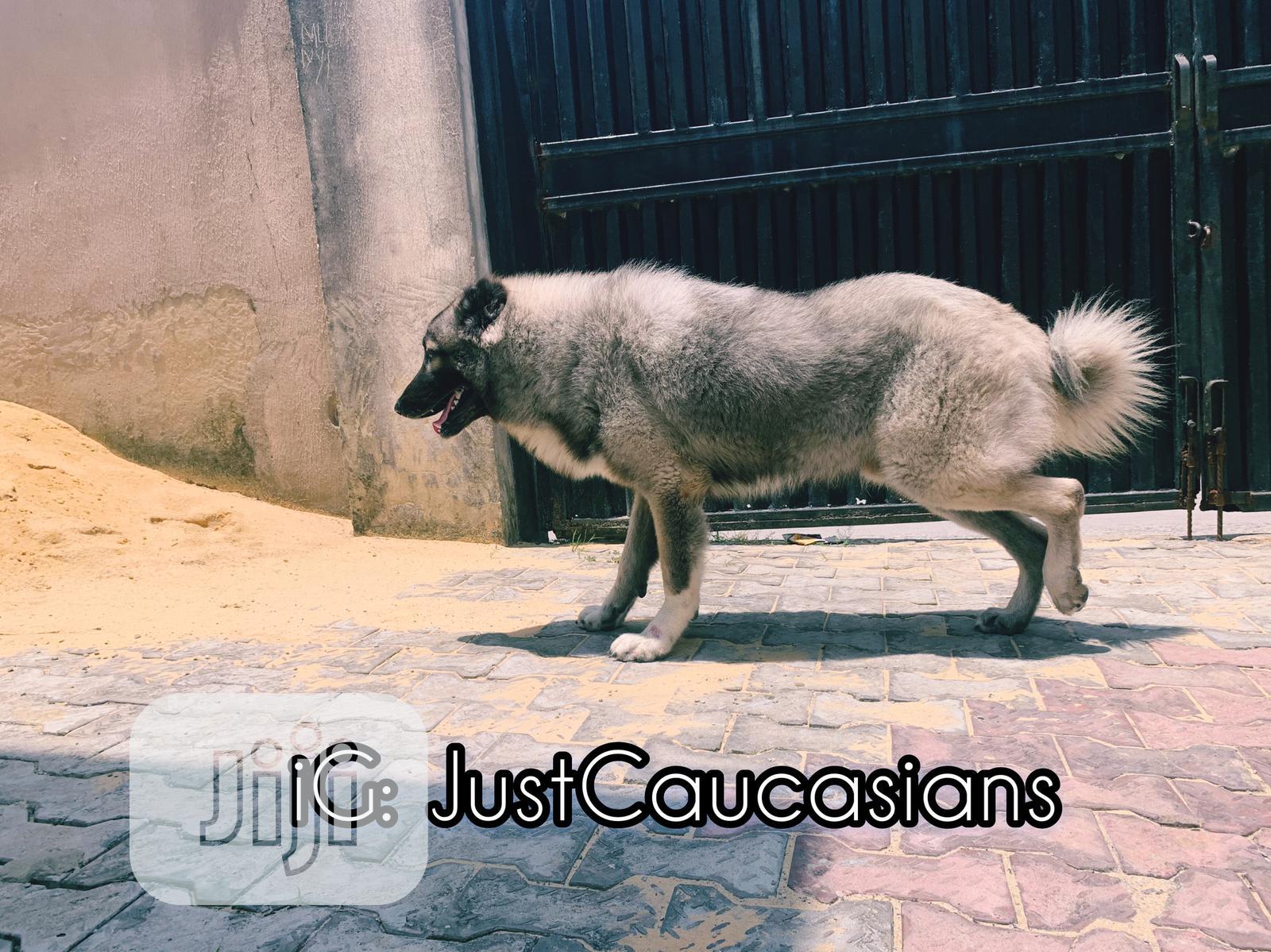 Archive: Baby Male Purebred Caucasian Shepherd