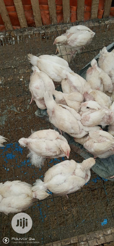 Boiler's Chicks