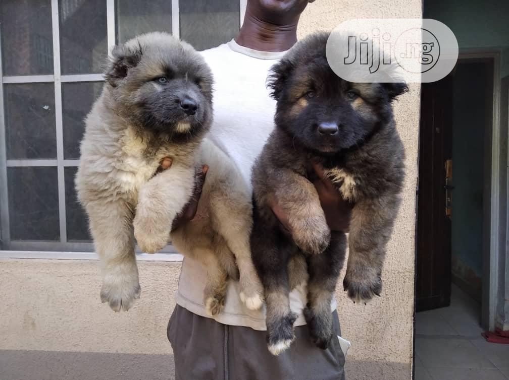 Baby Male Purebred Caucasian Shepherd | Dogs & Puppies for sale in Ibadan, Oyo State, Nigeria