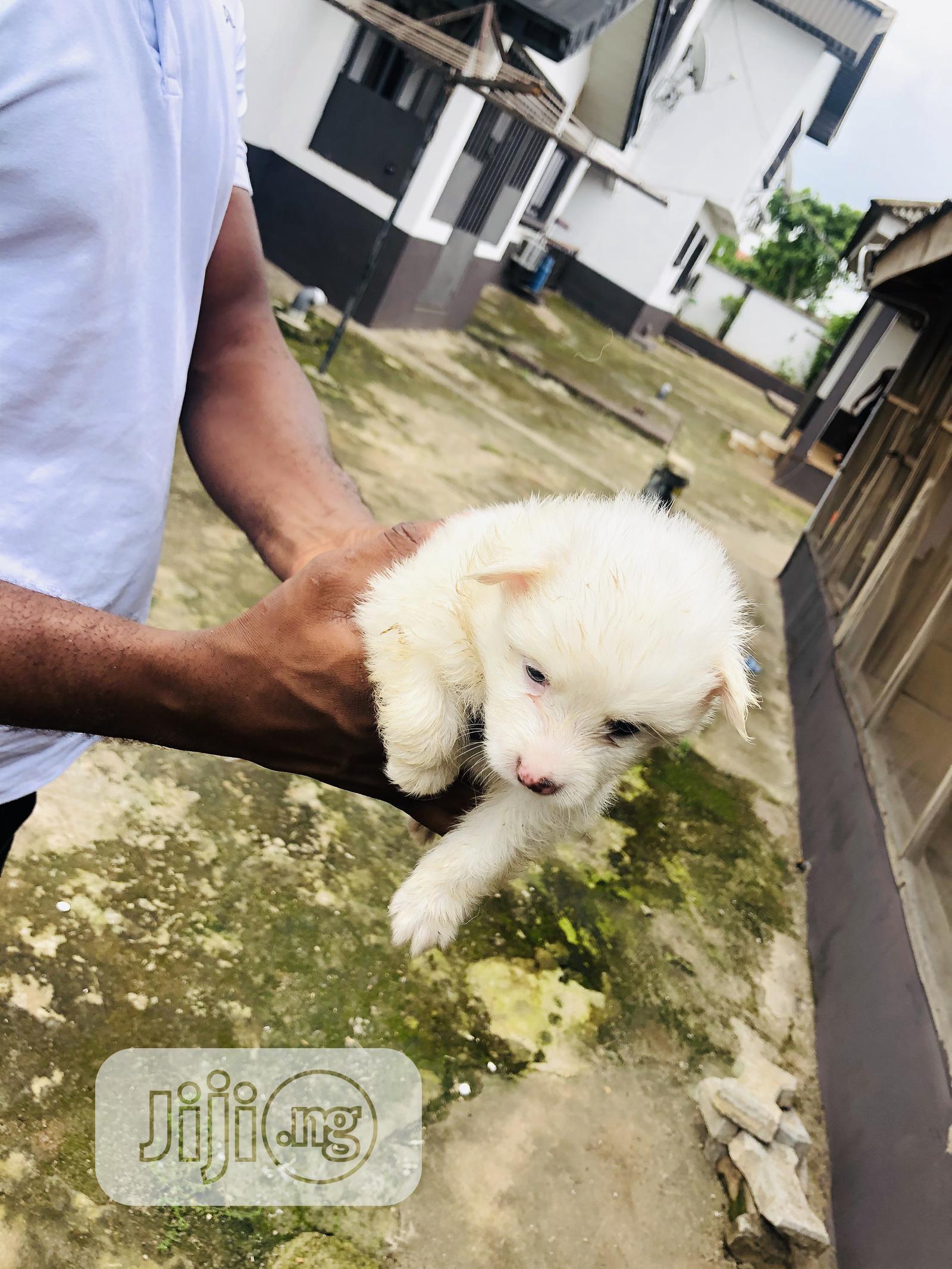 1-3 Month Male Purebred American Eskimo | Dogs & Puppies for sale in Benin City, Edo State, Nigeria