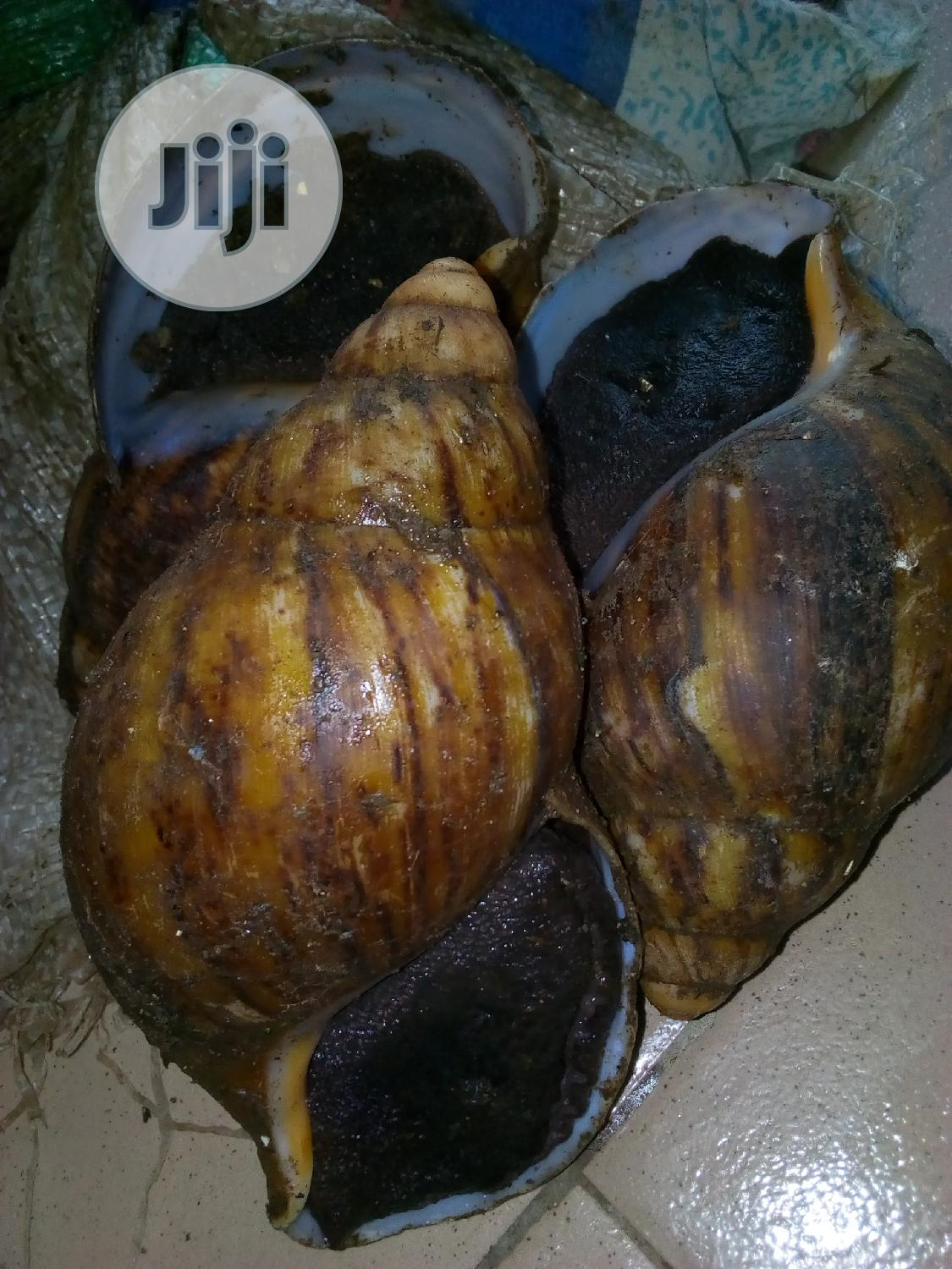 Jumbo Snail | Other Animals for sale in Epe, Lagos State, Nigeria