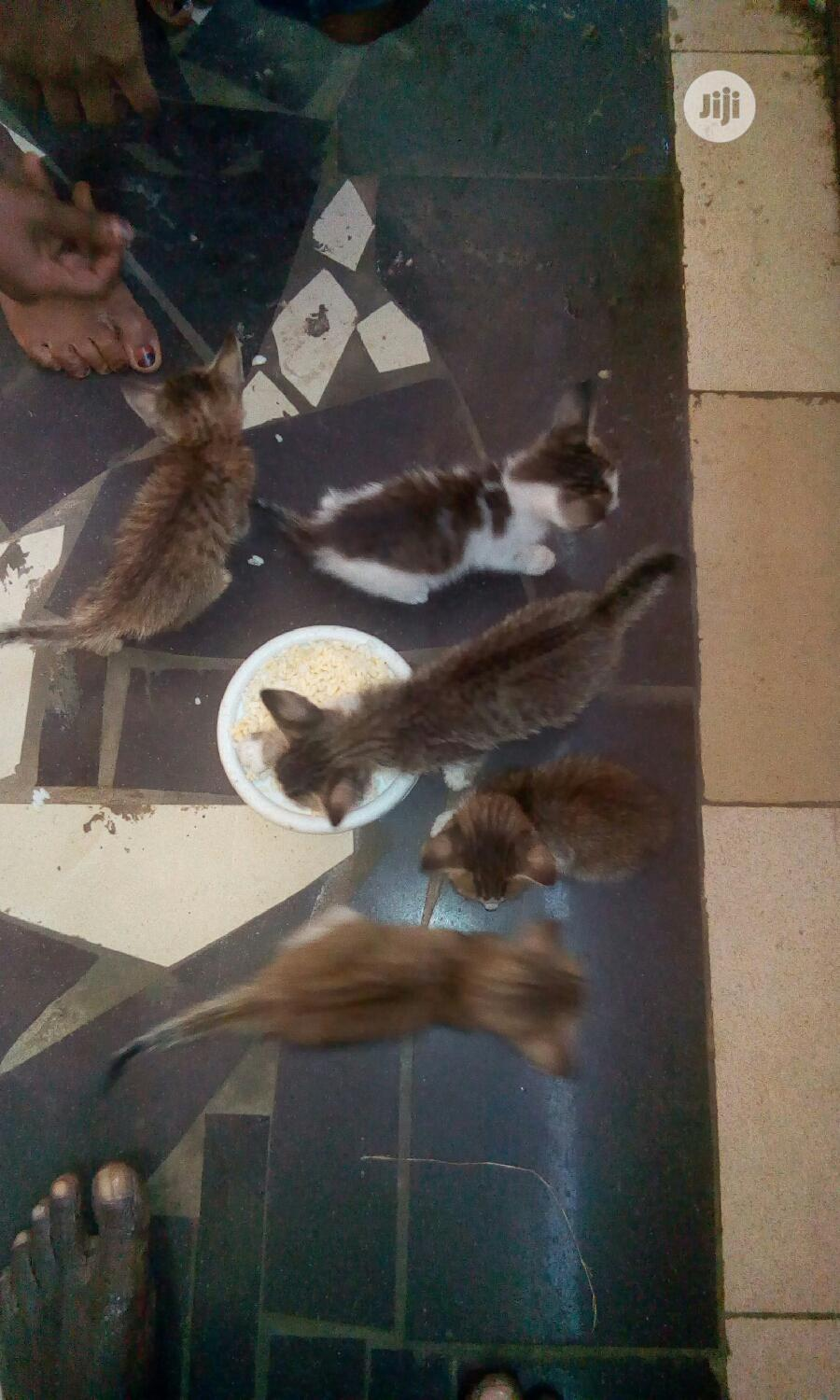 Baby Female Mixed Breed Cat | Cats & Kittens for sale in Ojo, Lagos State, Nigeria