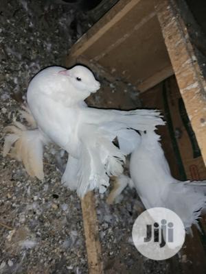 3 In 1 Pigeons | Birds for sale in Yobe State, Potiskum
