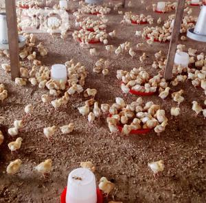 Day Old Chicken   Livestock & Poultry for sale in Oyo State, Ibadan