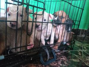 Baby Female Purebred American Pit Bull Terrier   Dogs & Puppies for sale in Lagos State, Maryland