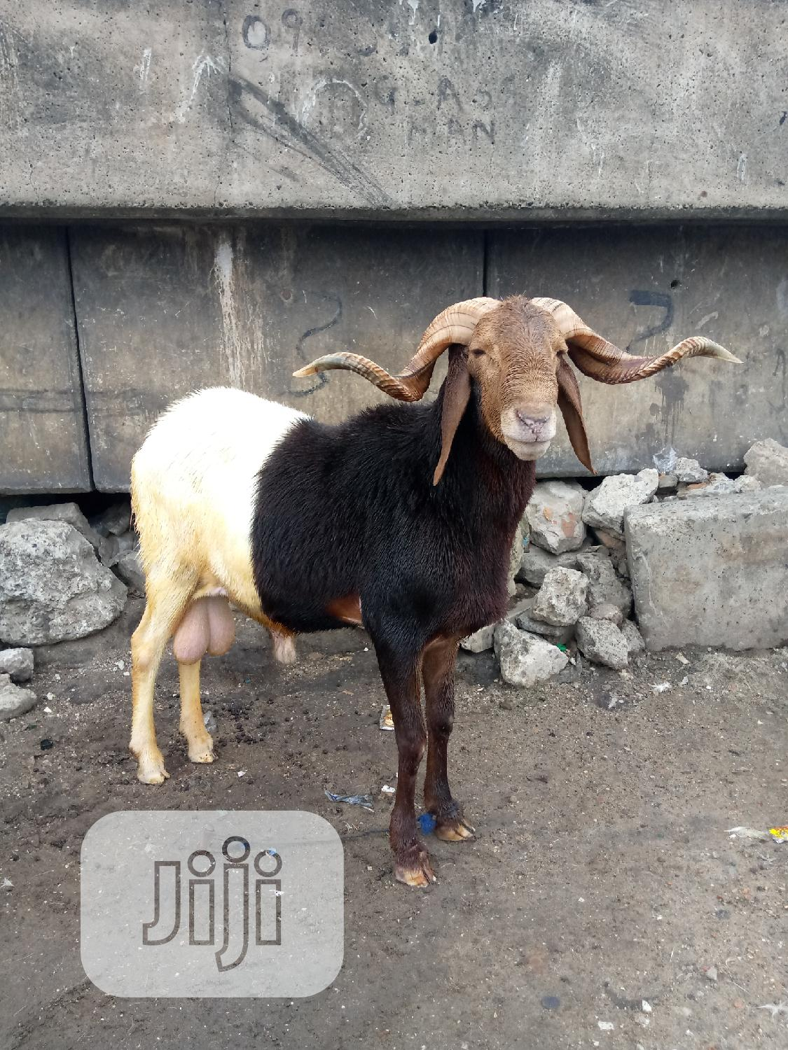 Big Healthy Ram/Sheep and Home Delivery Available