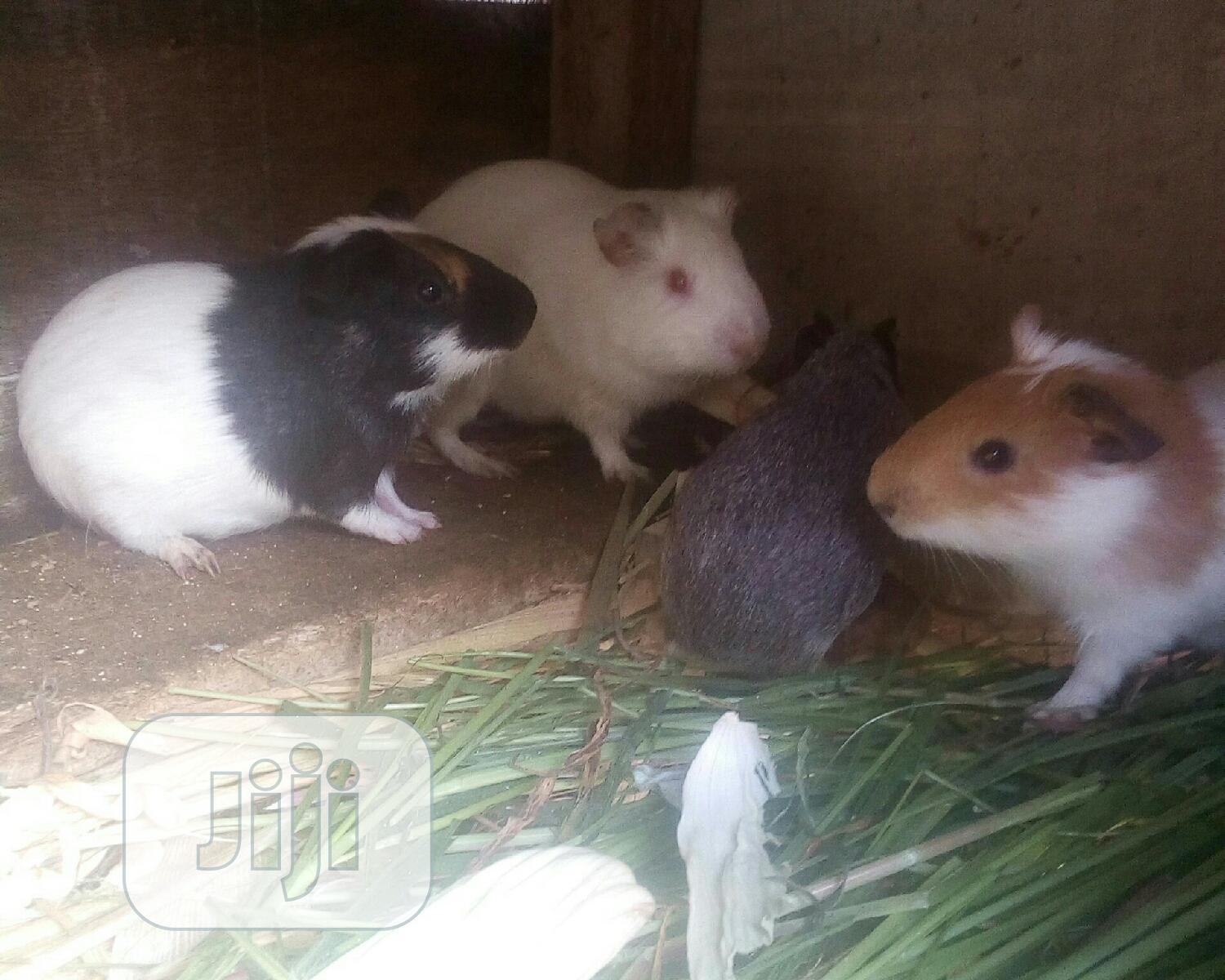 Buy Foreign Guinea Pig At Affordable Price
