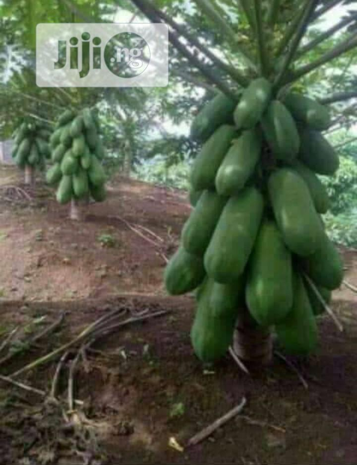 Dwarf Pawpaw Seedlings For Sale At Affordable Prize