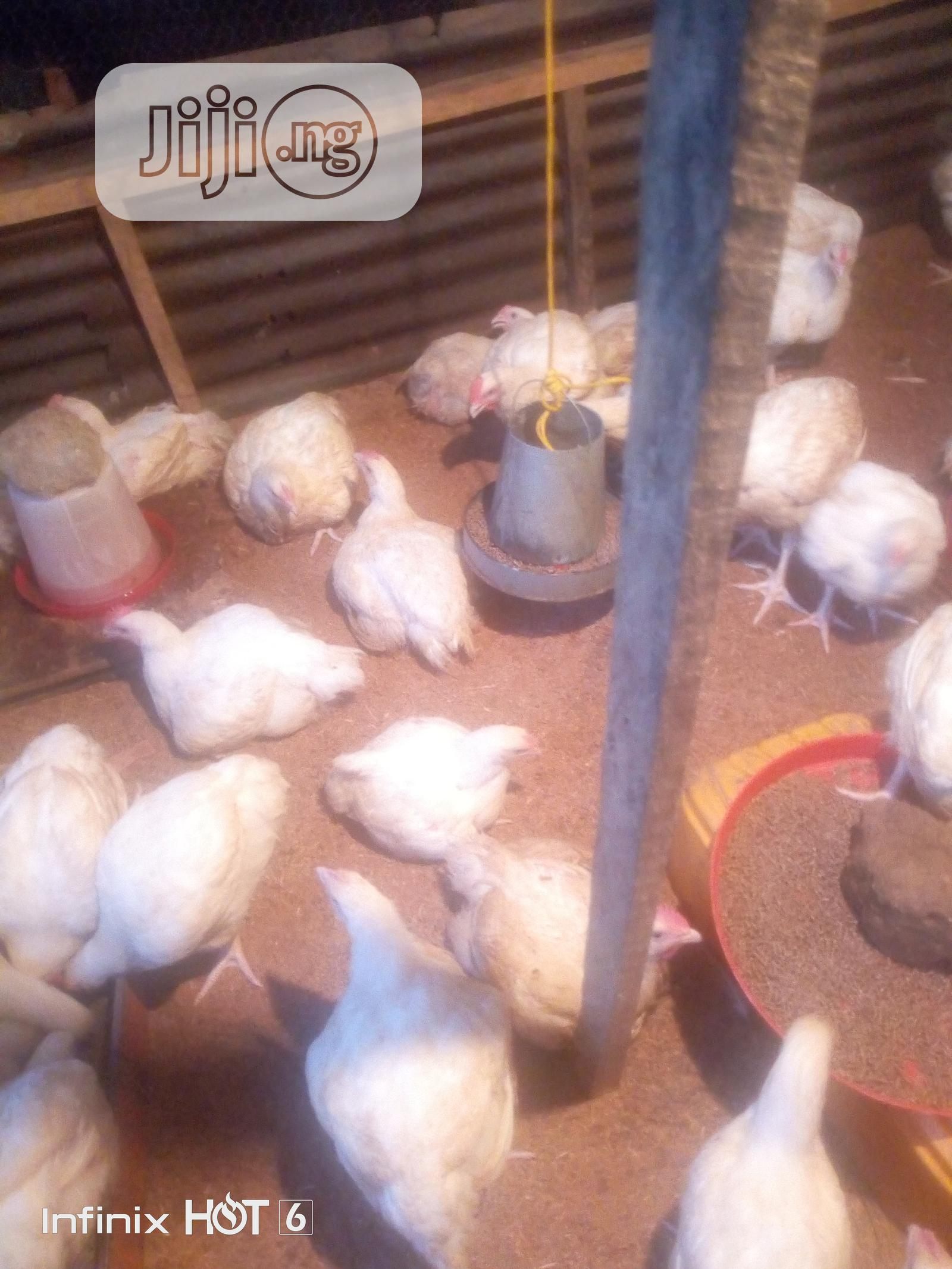 Archive: 3.5kg And Above Broilers For Sale