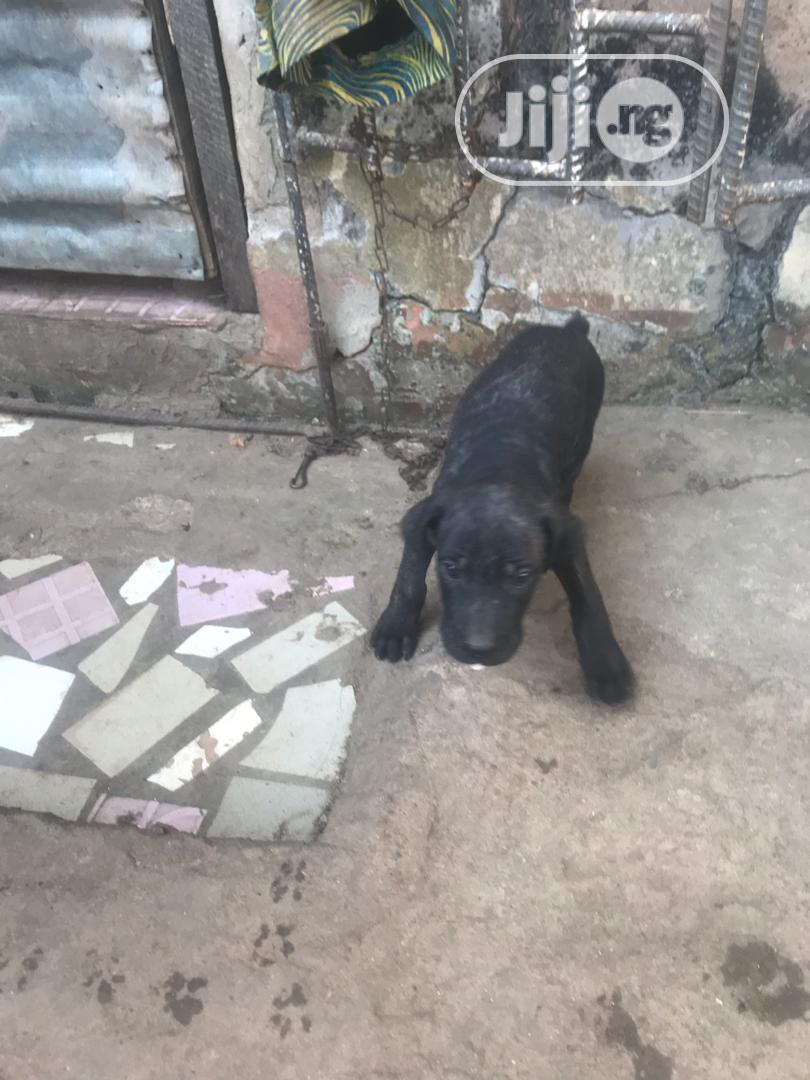 Young Female Purebred Boerboel | Dogs & Puppies for sale in Central Business Dis, Abuja (FCT) State, Nigeria