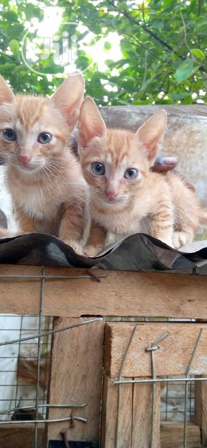 Baby Female Purebred Exotic   Cats & Kittens for sale in Lagos State, Ikorodu